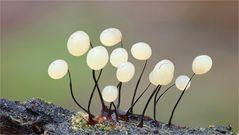 Comatricha nigra