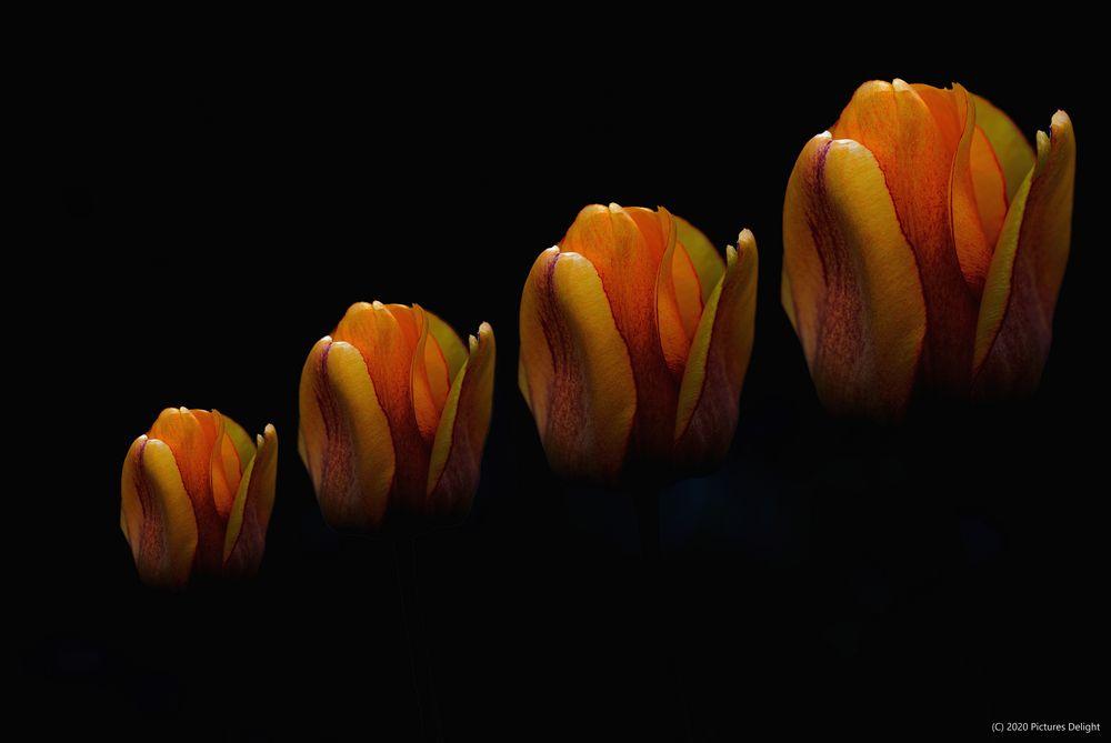 - Comin' up Tulip -
