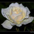 """"""" Comme une rose de diamants ce matin dans mon jardin """""""