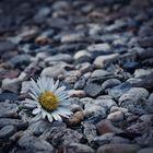 common daisy ...