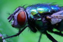 Common green bottle fly (Phaenicia sericata, Lucilia sericata)