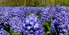 Common Hyacinth