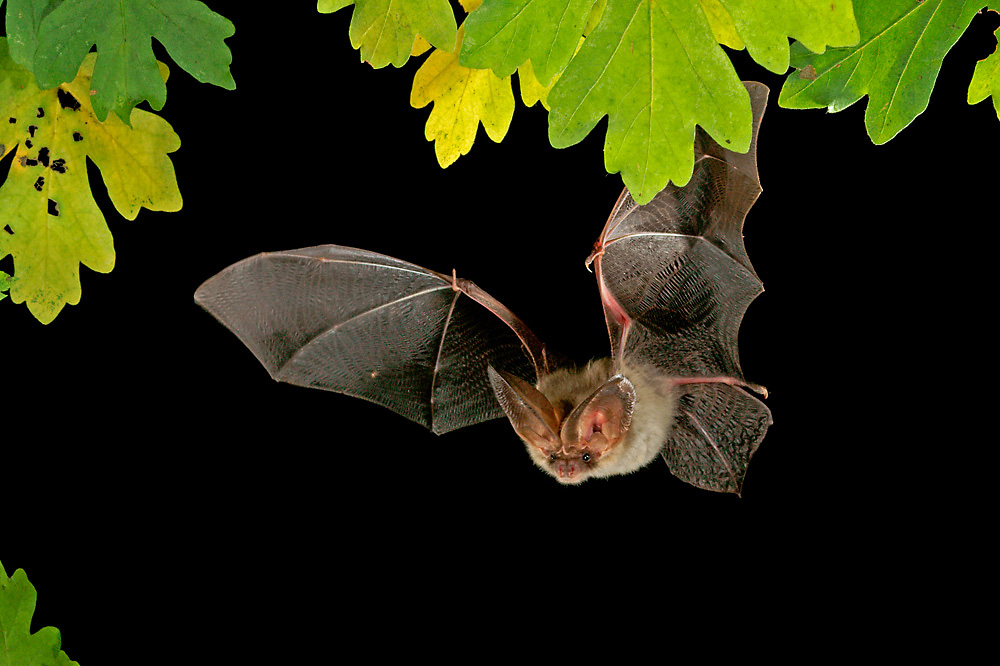 Common long-eard bat (Plecotus auritus)