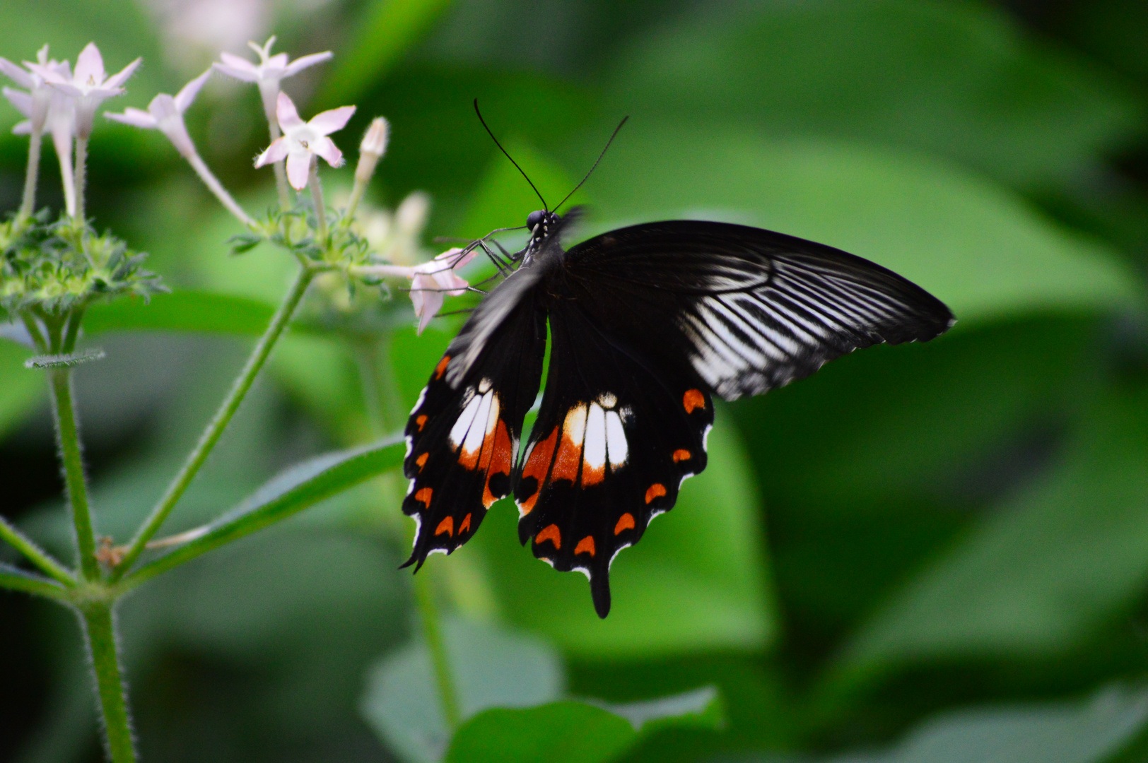 Common Mormon (Papilio polytes) 001