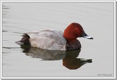 Common pochard on the river