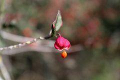 Common spindle (Euonymus europaeus)