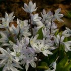 Common Squill