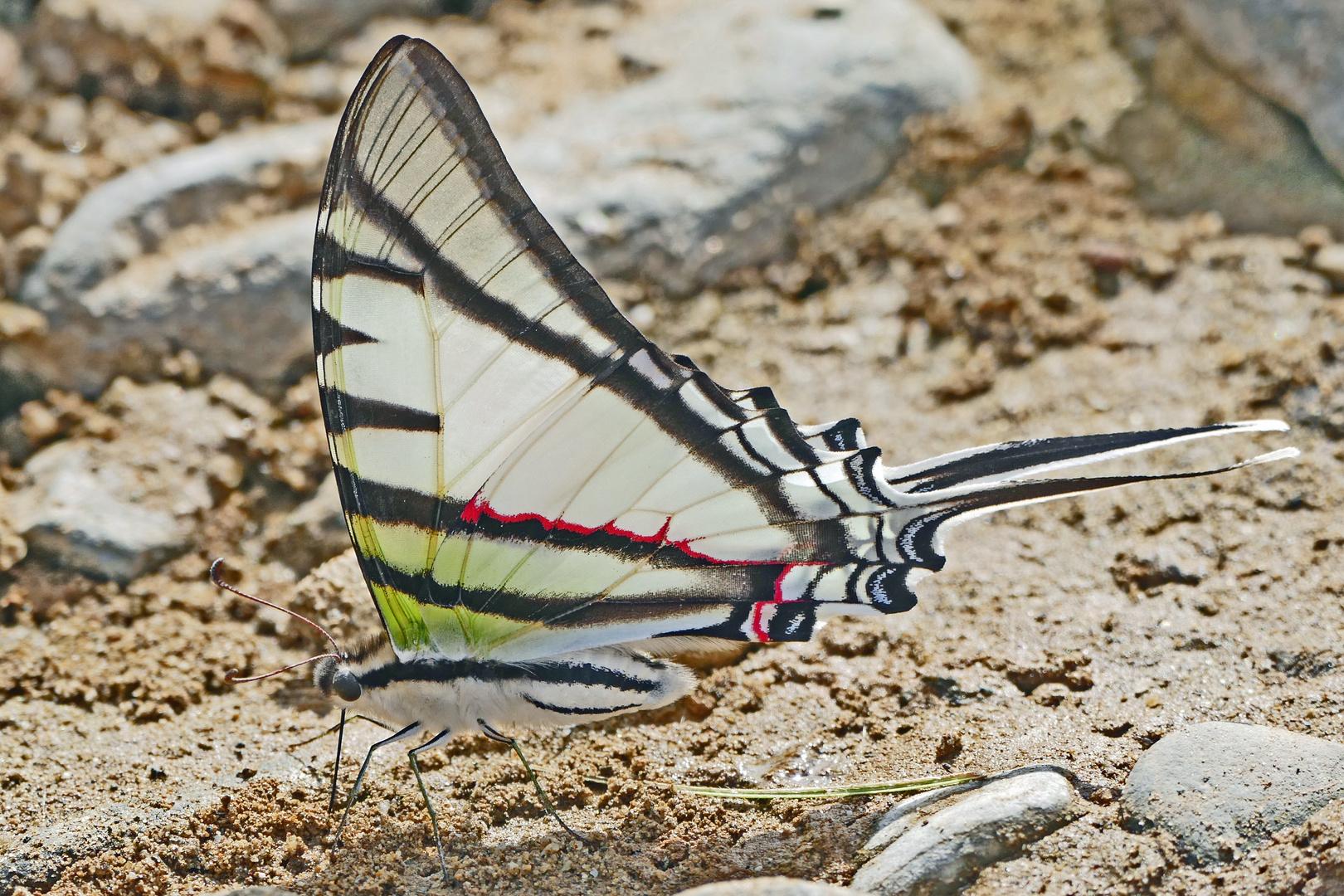 Common Swordtail / Neographium agesilaus