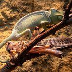 con chameleon