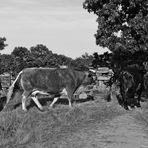 Con las vacas