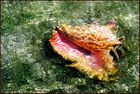 Conch in Shallow Water