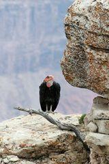 Condor am Grand Canyon (1)