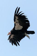 Condor am Grand Canyon (2)