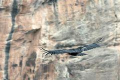 Condor am Grand Canyon (3)