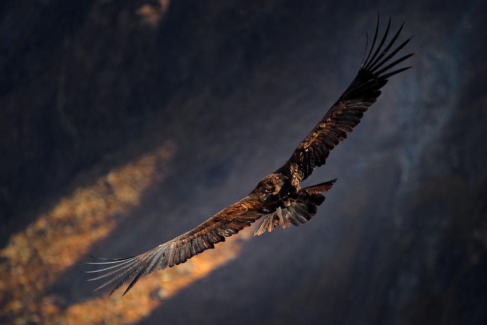Condor dans le canyon de Colca, Pérou