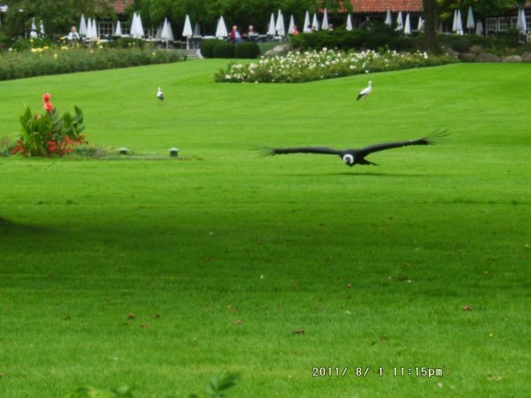 Condor im Anflug