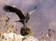 Condor- Jungvögel