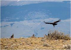 Condore   (Chile)