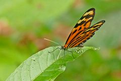 Confused Tigerwing, Sweet-oil Tiger,  Lysimnia Tigerwing (Mechanitis lysimnia)
