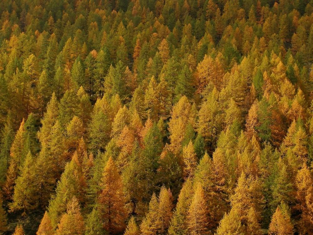 Conifere d' Autunno