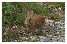 Coniglietto selvatico 3