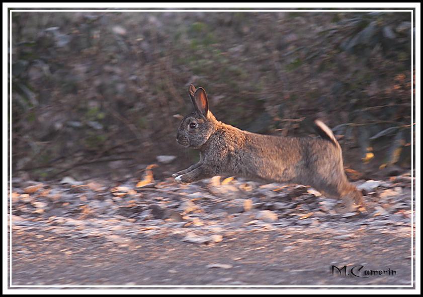 Coniglio in volo