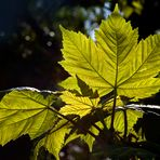 Contraluz de hojas nuevas