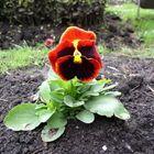 Convent flower
