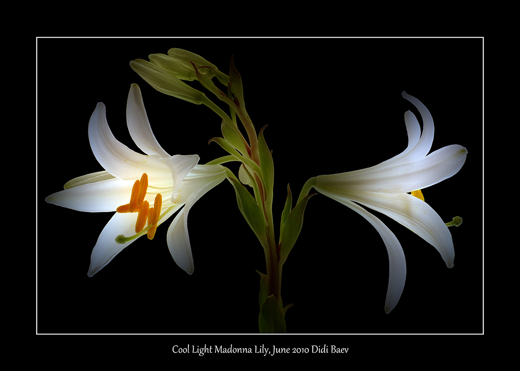 Cool Light Madonna Lily