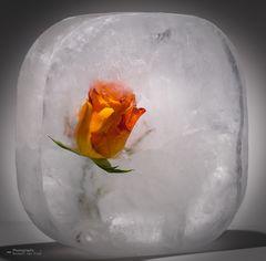 cool rose ....