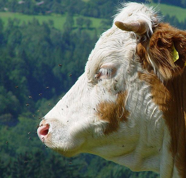 Coole Kuh