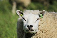 Cooles Texel-Schaf