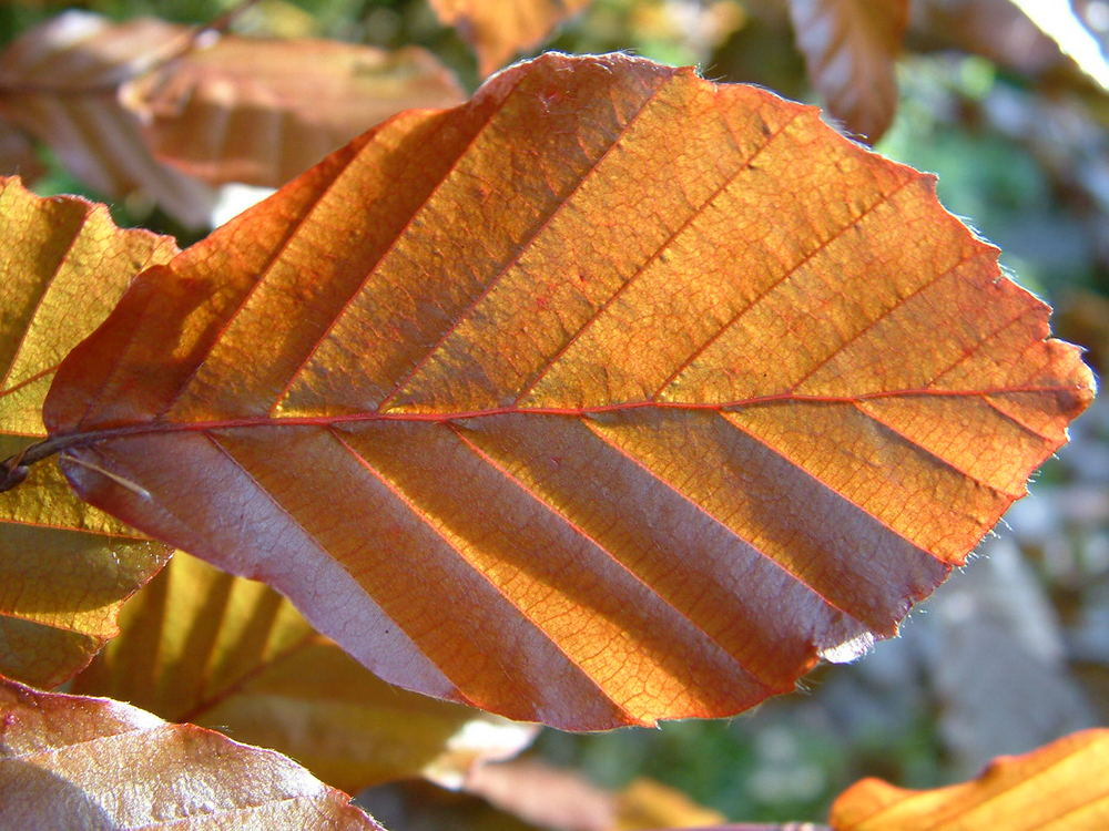 Copper Beach Leaf