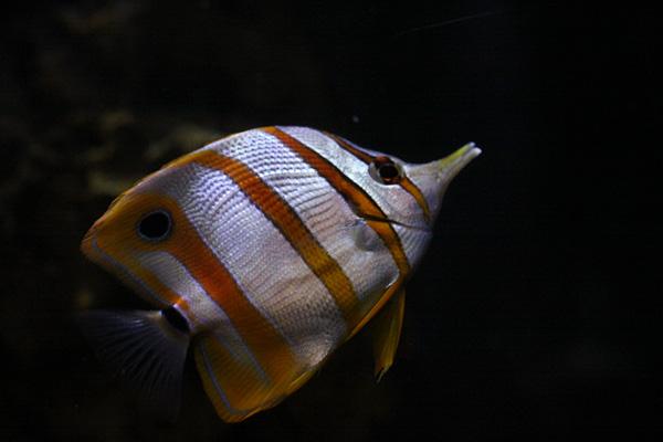 Copperband Butterflyfisch oder Kupferbandfalterfisch