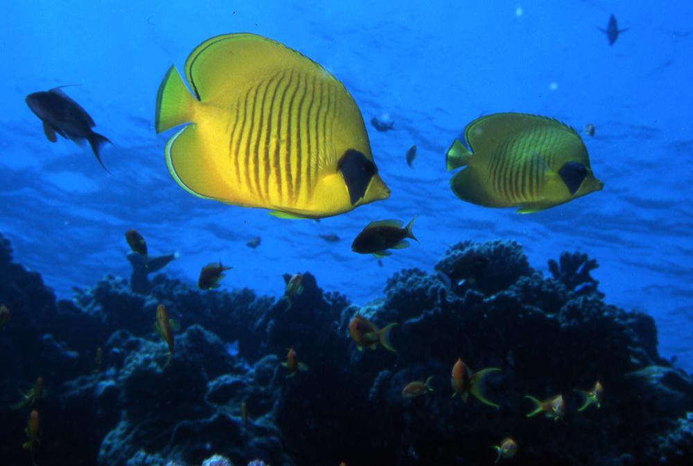 Coppia di pesci farfalla foto immagini animali pesci e for Immagini di pesci disegnati