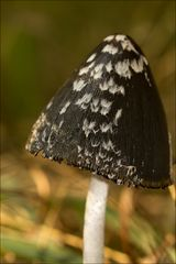 Coprinus picaceus (Spechttintling)