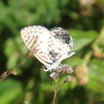 Coqueta III  ( Summer Azure Butterfly )