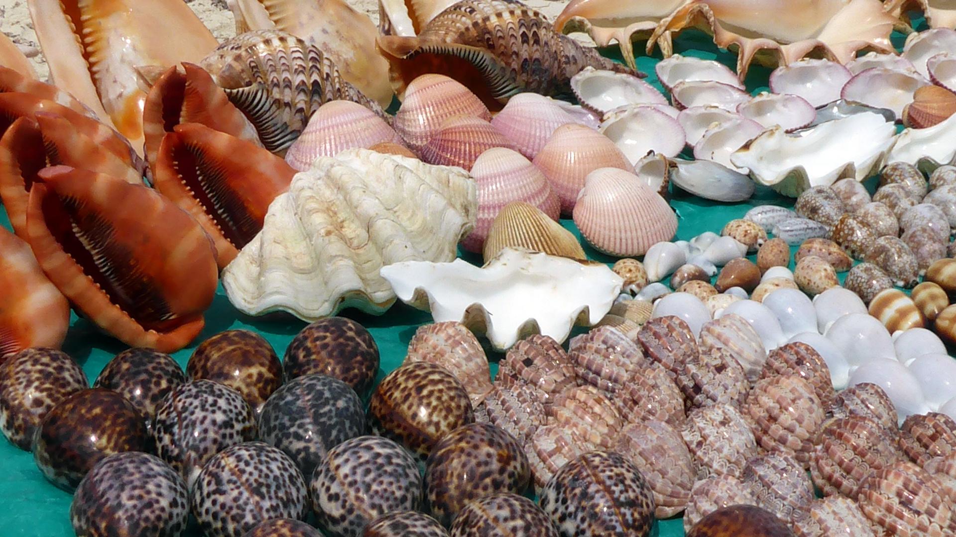 coquillages des mers du Sud