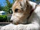 Cora - Parson Russell Terrier