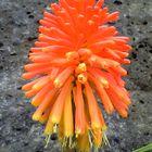 Coral agreste