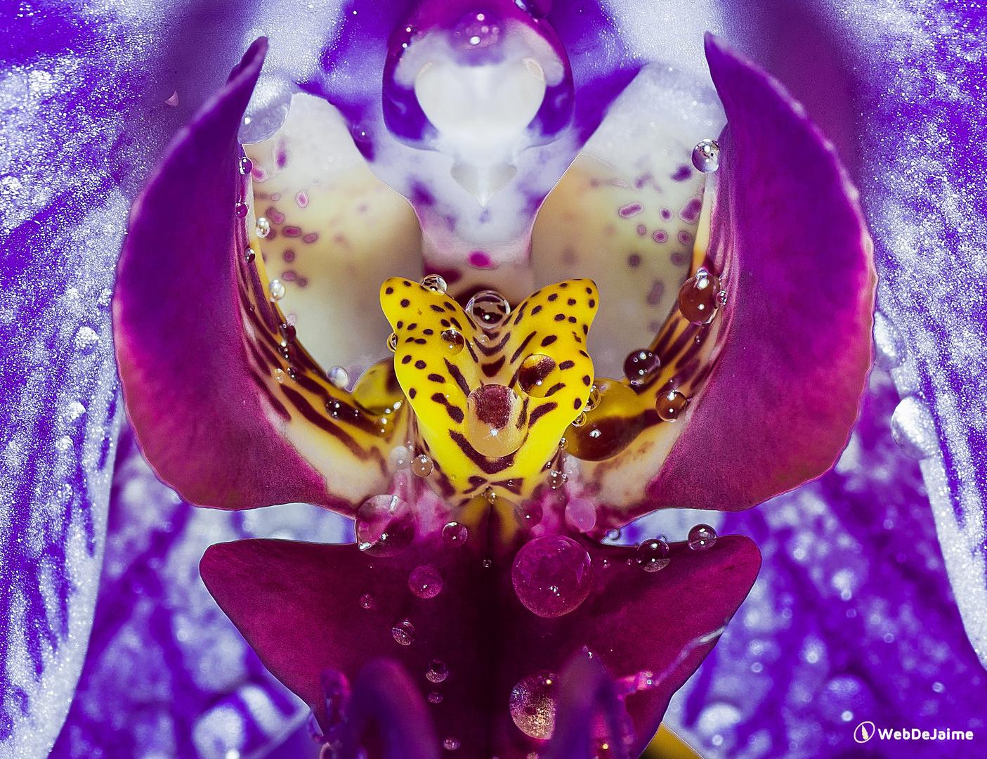 Corazón de Orquídea