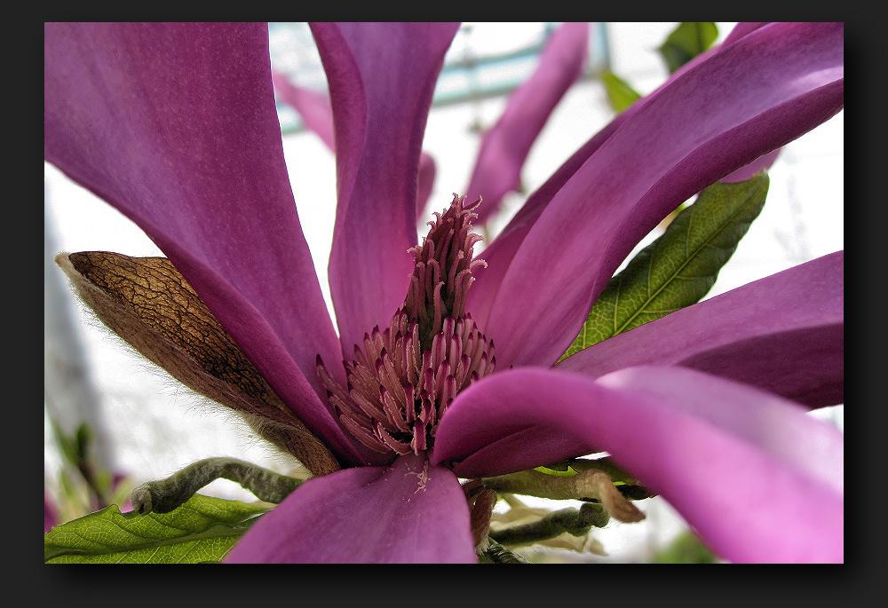 Core of magnolia