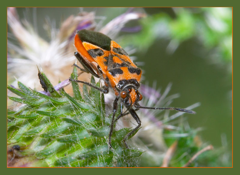 Corizus hyoscami...