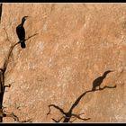 Cormoran en los Arribes del Duero