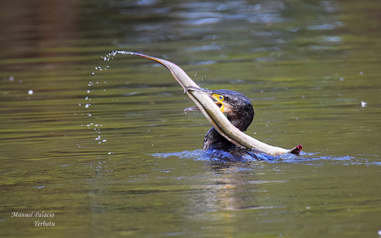 Cormorán pescándo