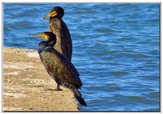 cormorani dagli occhi smeraldi....