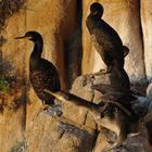 Cormorani nel nido, adulti e giovani - Phalacrocorax carbo sinensis Blumenbach - Sardegna