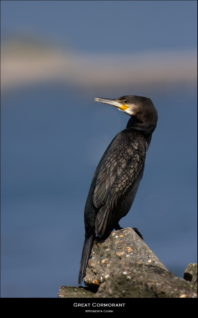 - cormorano -