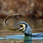 cormorano con anguilla 2