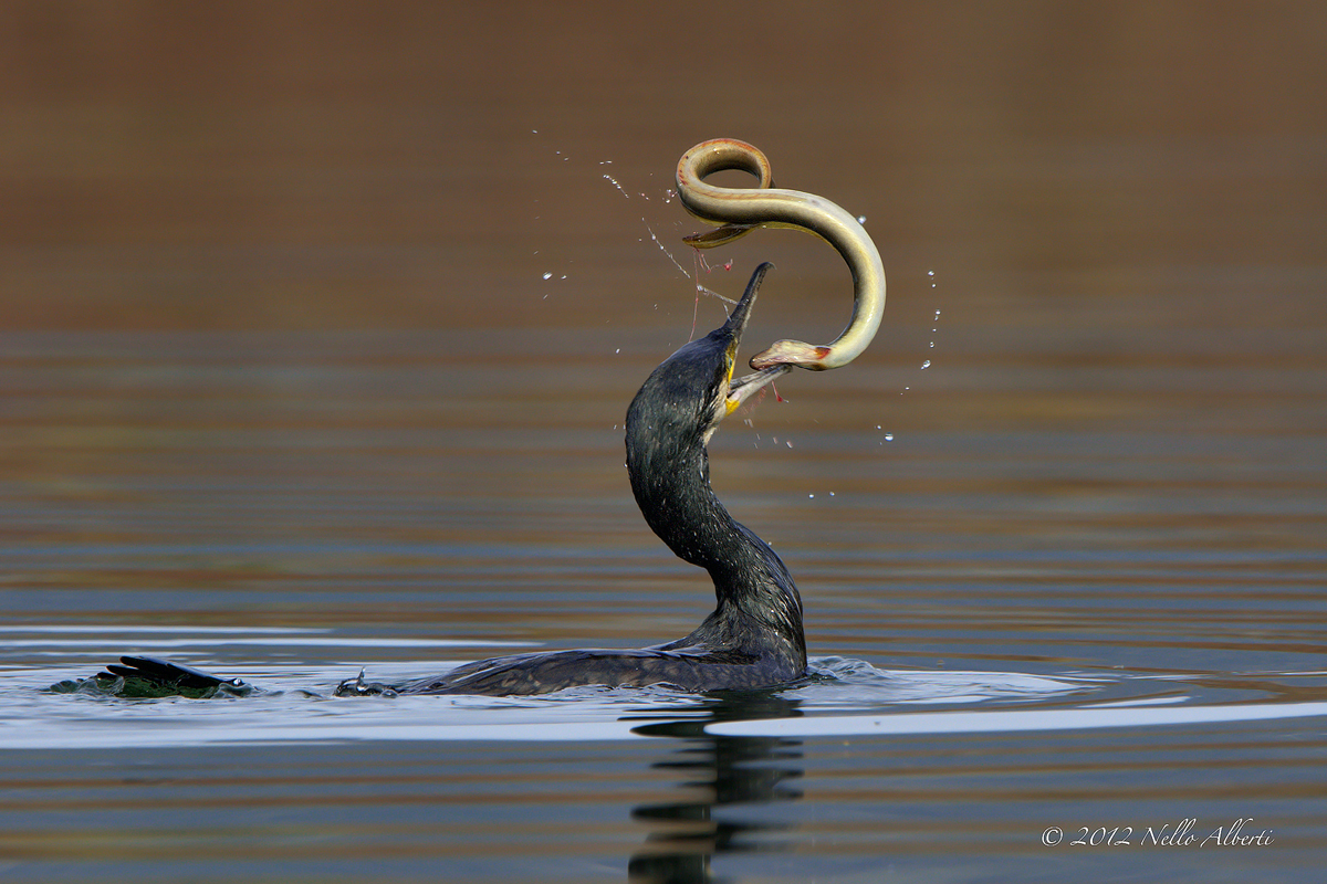 cormorano con anguilla insanguinata
